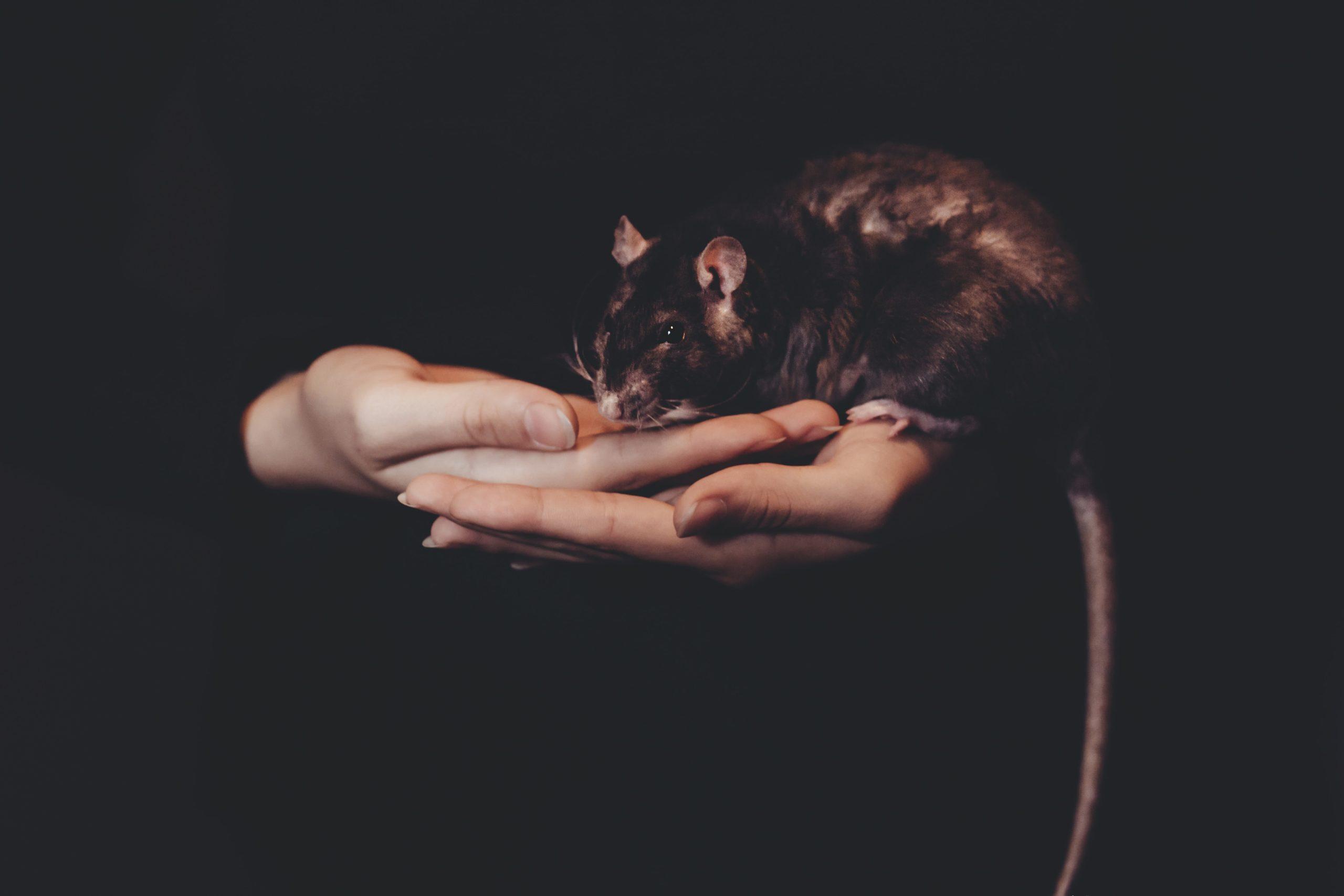 Ratte auf Hand